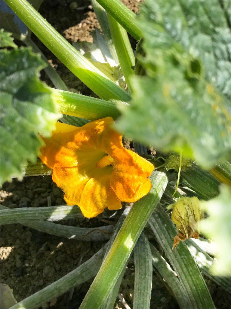 Pianta di zucchine con fiore